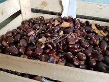 Fresh chestnut from the forest. Fresh,full of color and lustre chestnut from the forest Royalty Free Stock Images