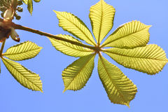 Fresh chestnut leaves Royalty Free Stock Photo
