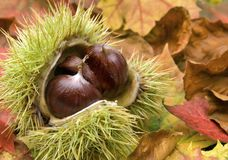Fresh chestnuts and autumn leaves. Fresh chestnuts with open husk on dry autumn leaves Stock Photo