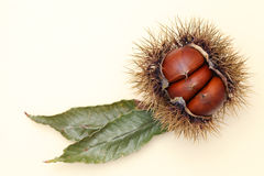 Fresh chestnuts bur Royalty Free Stock Image
