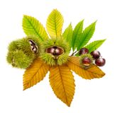 Fresh chestnuts on leaves, isolated Royalty Free Stock Photography