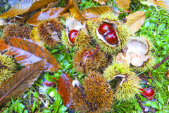 Fresh chestnuts with open husk on fallen autumn leaves. Autumn Impression Stock Image
