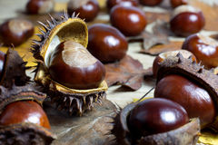 Fresh Chestnuts with Open Husk on an Old Rustic Wooden Table with Brown Autumn Leaves. Fresh Shiny Chestnuts with Open Husk on an Old Rustic Wooden Table with Royalty Free Stock Image