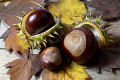 Fresh Chestnuts with Open Husk on an Old Rustic Wooden Table with Brown Autumn Leaves. Fresh Shiny Chestnuts with Open Husk on an Old Rustic Wooden Table with Stock Photo
