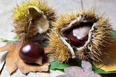 Fresh Chestnuts with Open Husk on an Old Rustic Wooden Table with Brown Autumn Leaves. Fresh Shiny Chestnuts with Open Husk on an Old Rustic Wooden Table with Stock Images