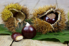 Fresh Chestnuts with Open Husk on an Old Rustic Wooden Table with Green Leaves. Fresh Shiny Chestnuts with Open Husk on an Old Rustic Wooden Table with Green Stock Photography