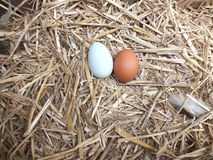 Fresh chickens eggs in the nest Royalty Free Stock Images