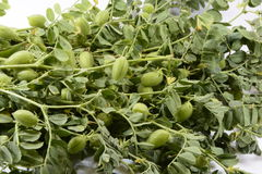 Fresh chickpeas. These beans have light green color and light flavor Royalty Free Stock Photos