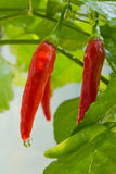 Fresh chili is on the tree Stock Photos