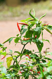 Fresh chili on tree Stock Image