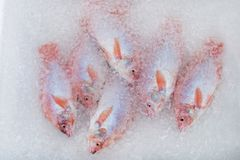 Fresh chilled fish Tilapia. In ice and water Royalty Free Stock Image