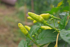 Fresh chillies growing in the vegetable garden Stock Photo