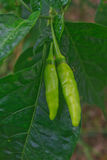 Fresh chillies growing in the vegetable garden Stock Photography