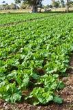Fresh Chinese cabbage Stock Photos