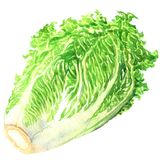 Fresh chinese cabbage isolated, hand drawn watercolor illustration on white. Background vector illustration