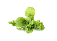 Fresh Chinese cabbage (Romain Lettuce) Royalty Free Stock Photos
