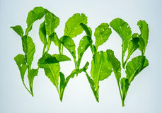 Fresh chinese cabbages Royalty Free Stock Photos