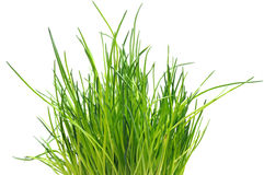 Free Fresh Chive Royalty Free Stock Photography - 4597377