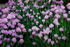 Fresh chives. Flowering chives for a culinary delight Royalty Free Stock Image