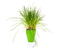 Fresh chives in green pot Stock Photos