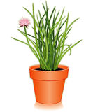 Fresh Chives Herb in a Flowerpot. Chives, a flavorful perennial herb with long, slender, hollow leaves with a mild onion flavor used to flavor salads, dressings Royalty Free Stock Image