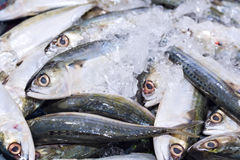 Fresh Chub mackerels, sea fish on ice exposition at the seafood. Market. Display of the catch of the day Royalty Free Stock Images