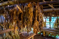 Fresh cigar tobacco leaves, Cuban farm royalty free stock photos