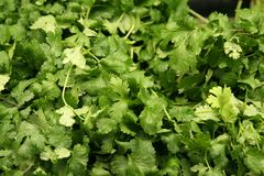 Fresh Cilantro Royalty Free Stock Images