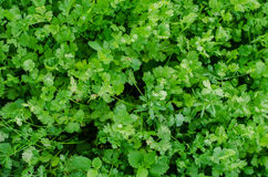 Fresh cilantro. Green fresh cilantro in the garden stock photos