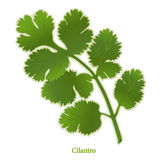 Fresh Cilantro Herb Stock Photography