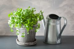 Fresh cilantro herb in flowerpot stock image
