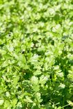 Fresh Cilantro Herb plant Royalty Free Stock Images