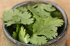 Fresh Cilantro. Macro shot of Fresh Cilantro in a bowl royalty free stock photo
