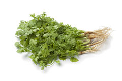 Fresh cilantro with roots Royalty Free Stock Image
