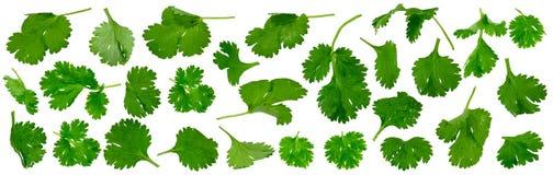 Fresh cilantro twigs Stock Photos