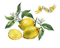 Fresh citrus fruit lemon on a branch with fruits, green leaves, buds and flowers. Label in sketch style. Stock Image