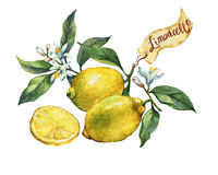 Fresh citrus fruit lemon on a branch with fruits, green leaves, buds and flowers. Label in sketch style. Stock Images