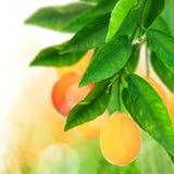 Fresh citruses Royalty Free Stock Photo