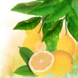 Fresh citruses Stock Image