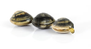 Fresh clams. On white background Stock Photos