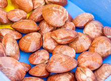 Fresh clams Royalty Free Stock Photos