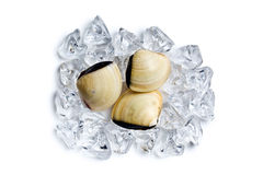 Fresh clams on ice cubes Royalty Free Stock Photo