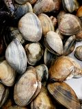Fresh clams at market with closed shell Royalty Free Stock Image