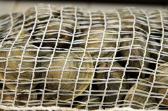 Fresh clams in mesh seafood bag Royalty Free Stock Photography