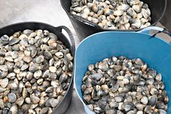 Fresh clams on pail ready to go to fish market. Japonica royalty free stock images