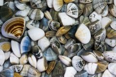 Fresh clams ready to cook. Healthy marine products to eat Royalty Free Stock Photography