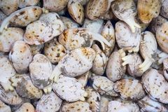 Fresh clams ready to cook. Healthy marine products to eat Stock Image