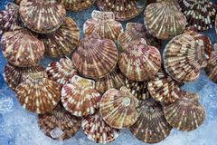 Fresh clams ready to cook. Healthy marine products to eat Stock Images