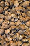 Fresh clams Stock Photo