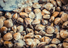 Fresh clams for sale at a market. Seafood background. Top view. Fresh clams for sale at a market. Seafood background. Top view Stock Images
